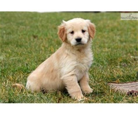 golden retriever puppies for sale in san antonio tx chivalrous maltese puppies for sale animals fort mckavett announcement 29828