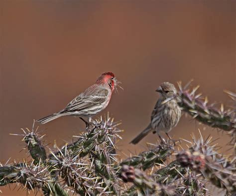house finch facts house finch facts 28 images house finch birdwatching