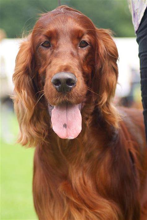 irish setter outside dog 126 best irish setter images on pinterest irish irish