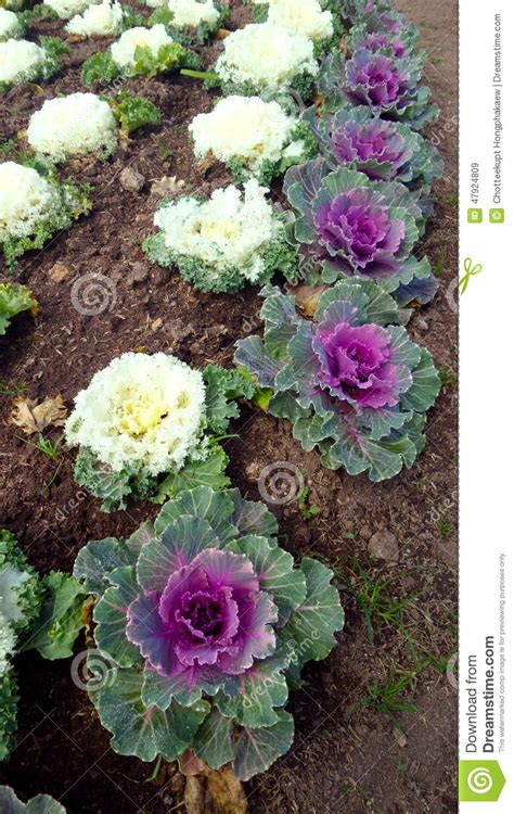Fossil Fs045 Purple Box Exclusive white and pink cabbage on the ground stock photo image