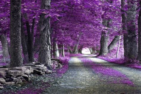 imagenes de paisajes violetas camino lleno de hojas de color lila 10366