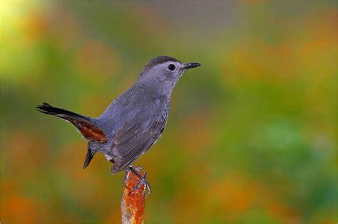 gray catbird newsdesk