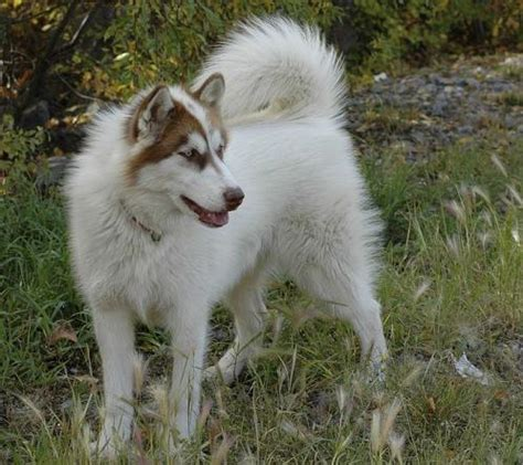 canadian eskimo canadian eskimo images dogbreedworld