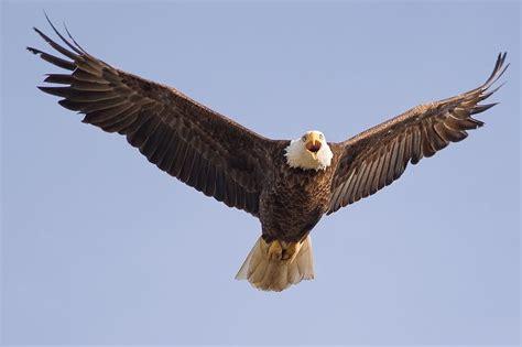tattoo eagle in flight eagles in flight bald eagle in flight tattoo ideas