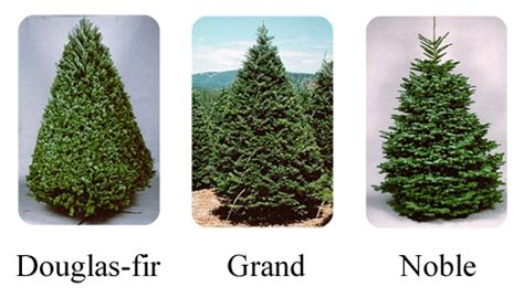 backyard landscape christmas tree types the types and