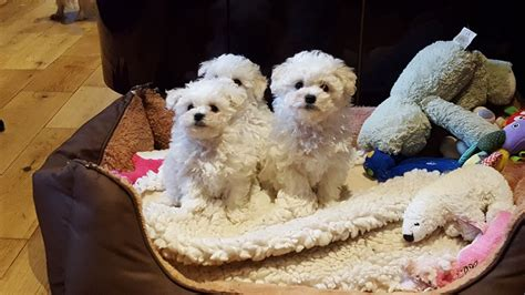 bolognese for sale beautiful bolognese puppy for sale bideford pets4homes
