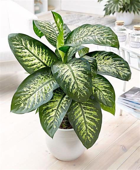 dieffenbachia est  genre de plantes de la famille des