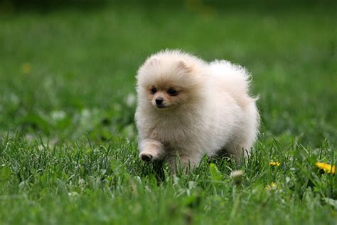 pomeranian puppy pictures puppies pictures