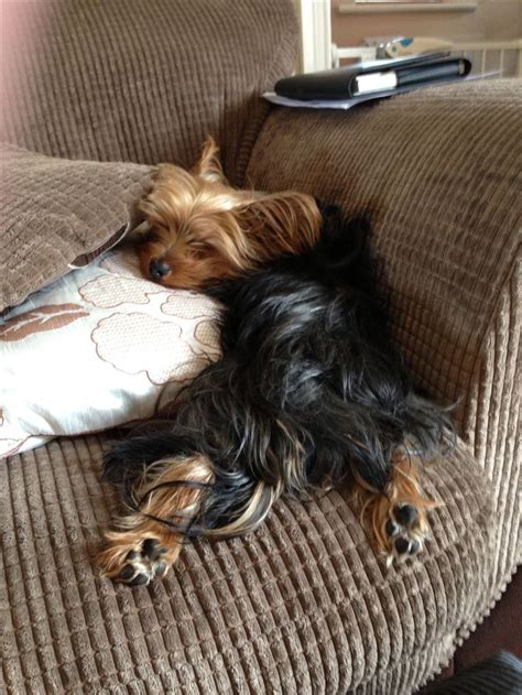 why do yorkies sleep so much 217 best images about puppies on puppys yorkie and doggies