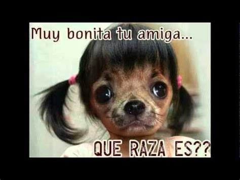 Memes De Chihuahua - los mejores memes del perro chihuahua youtube
