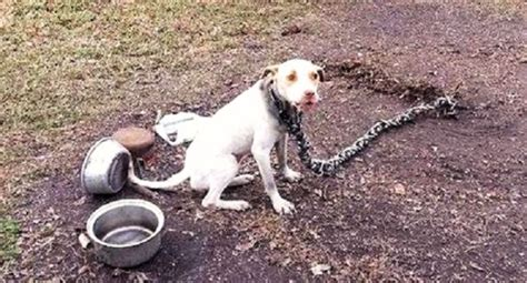 the pound dogs freed from on a 60 pound chain gets taste of freedom iheartdogs