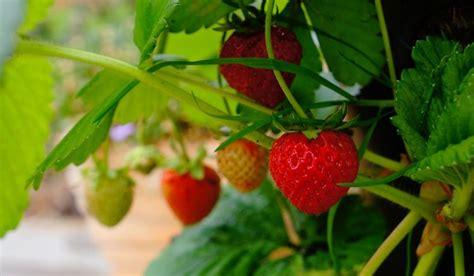 menanam strawberry  luar kebiasaannya sukses