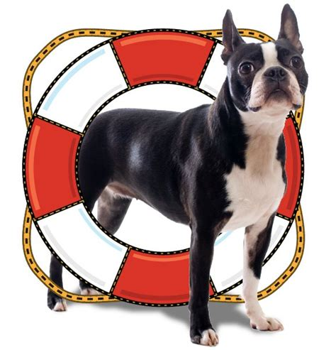 rescue nebraska midamerica boston terrier rescue nebraska photo