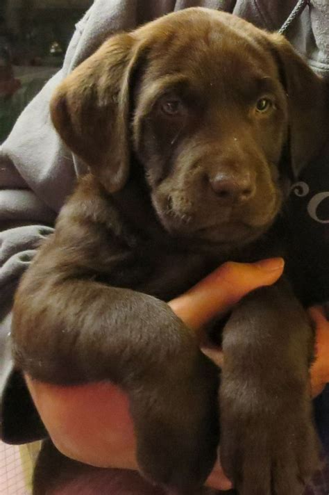 can you bathe a 6 week puppy our chocolate lab puppy at 7 weeks dogs lab puppies