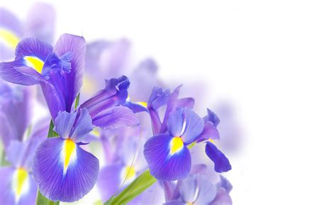 purple irises background gallery yopriceville high quality images  transparent png