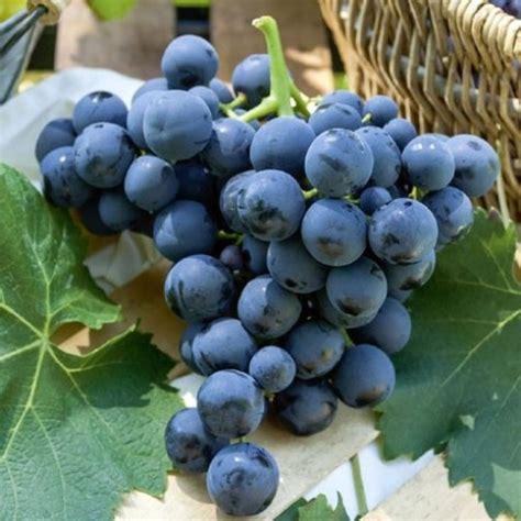 uva da tavola nera uva da tavola nera alfonso lavallee vaso 216 19cm