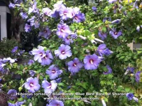 hibiscus syriacus blue bird 3363 of doovi