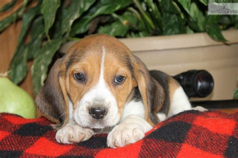beagle puppies for sale near me beagle puppy for sale near lancaster pennsylvania 18697ecb 9ac1