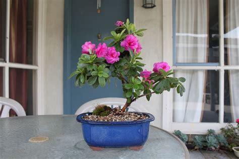 azalea vaso azalee in vaso piante da giardino azalee coltivate in vaso