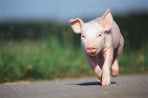 pig background baby pigs wallpapers wallpaper cave