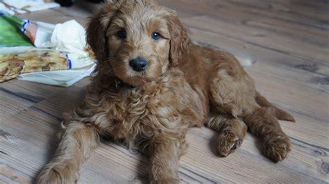 doodle puppy kopen australian labradoodle puppies australian labradoodle