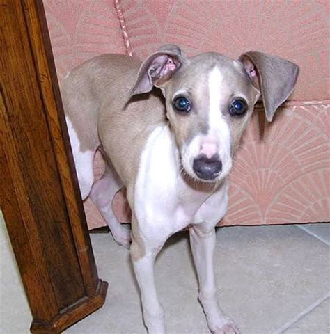 yorkie italian greyhound mix beagle italian greyhound mix photo happy heaven