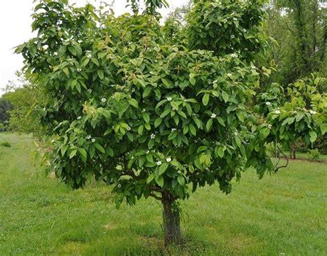 fiori di nespolo nespolo alberi da frutto caratteristiche nespolo