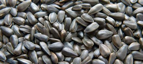 is black sunflower seeds for birds popular types of bird seed for birds yardlynoticed
