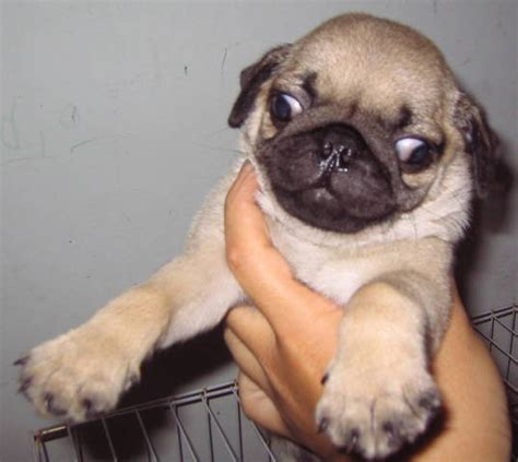 pug for sale malaysia pug puppy for sale sold for sale adoption from johor sekudai adpost classifieds