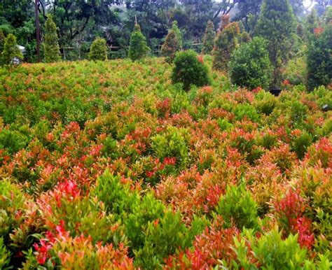Lu Hias Yang Ada Kipasnya beberapa macam tanaman hias daun yang cantik dan cocok di koleksi di rumah ali mustika sari