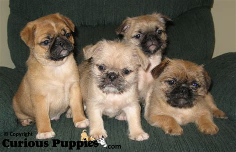 shih tzu pekingese puppies for sale shih tzu pug mix puppies for sale
