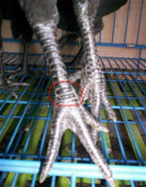 Gelang Kulit Sisik sisik kaki ayam bangkok handal dan bagus