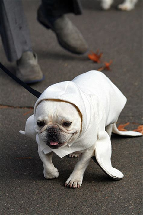 pug in seal costume human baby costume images