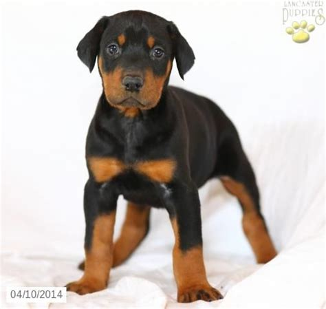 doberman puppies pa 17 best images about doberman pinscher on for sale dancers and princesses