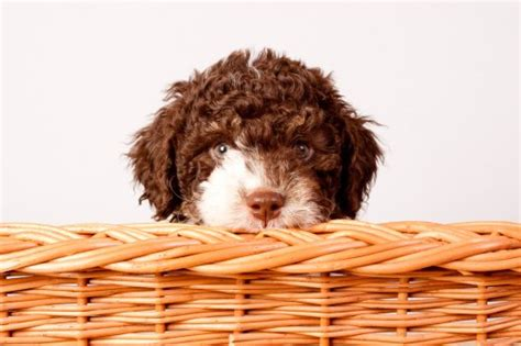 lagotto romagnolo puppies 101 puppies see the cutest puppy in the world best list