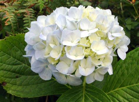 Imagenes De Hortencias Blancas | foto hortensia blanca 22 05 2009 13 32 37 fotos de