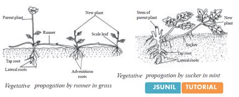 vegetative propagation by roots class 10 how do organisms reproduce biology cbse study