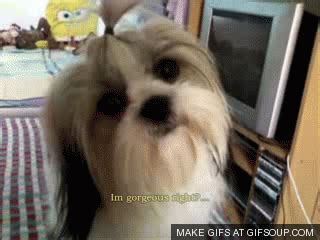 shih tzu gif thank you webbie we can post pictures now join page 1 707 blogs forums