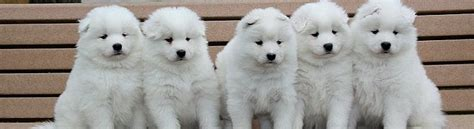 my female semoyed dog is not eating oooo and she is pregnant pets nigeria white magic samoyeds purebred studs breeders and