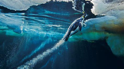 wallpaper mac national geographic emperor penguin wallpaper