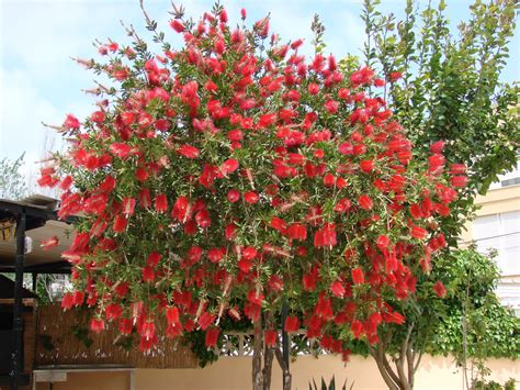 Bottle Brush Trees - callistemon citrinus bottle brush tree this is a