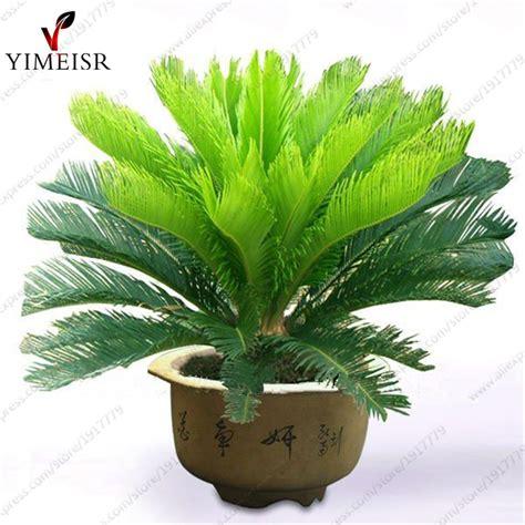 Cycas Revoluta Kaufen by Kaufen Gro 223 Handel Cycas Baum Aus China Cycas Baum