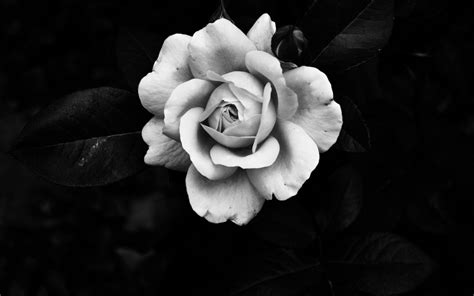wallpaper black and white roses dongetrabi black and white rose wallpaper images