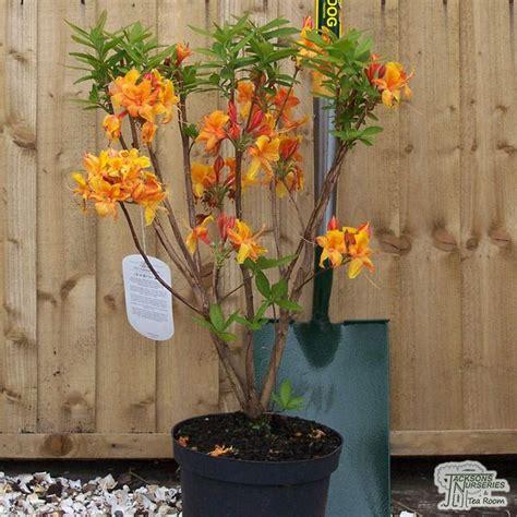 buy azealea exknap golden eagle deciduous hybrid azalea