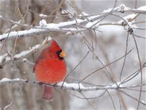 cardinal bird flying into window