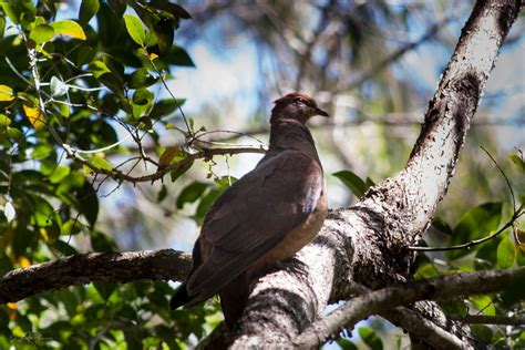 brown cuckoo dove birds in backyards