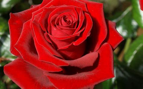 imagenes de rosas rosa setata