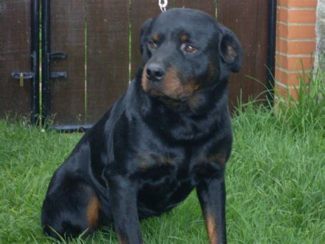rottweiler americano rottweiler americano breeds picture