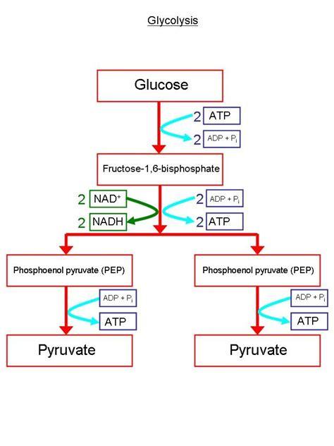 glycolysis diagram glycolysis diagram www pixshark images galleries