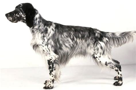 english setter dog pictures english setter breed information facts pictures